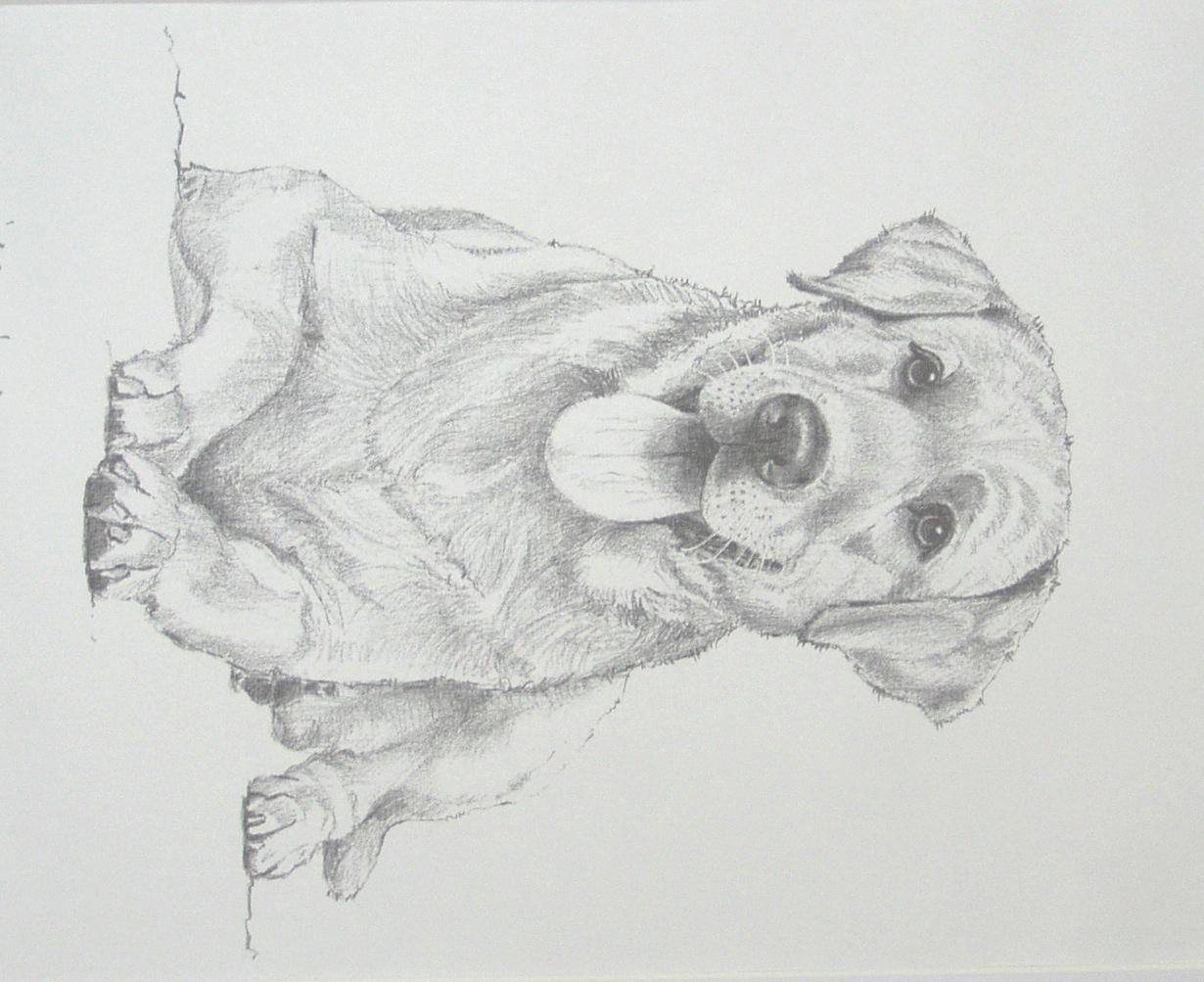 Labrador Retriever Drawings Labrador/retriever